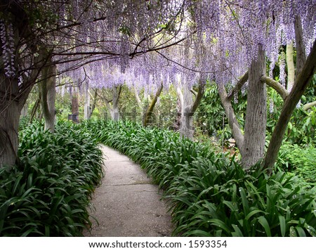 walkway with wisteria hanging above and green undergrowth