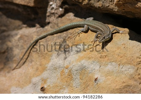 wall lizard Podarcis muralis - stock photo