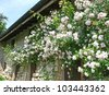 wall of an old house covered with beautiful white and pink roses - stock photo