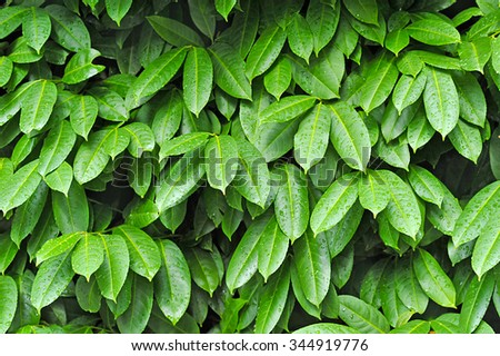 Wall of green leaves in garden as a natural texture