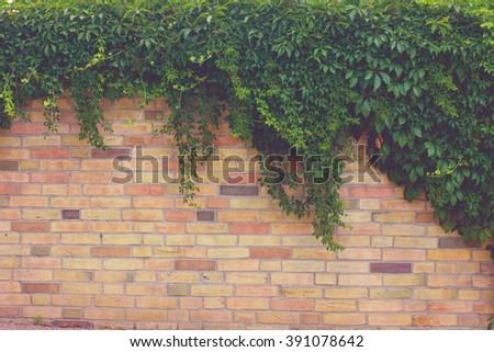Wall overgrown with climbing Plants
