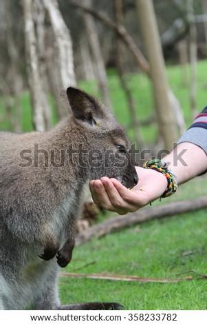 Wallaby, Moonlit Sanctuary, Melbourne, Australia - stock photo