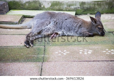 Wallaby with a leg joey in mothers pouch - stock photo