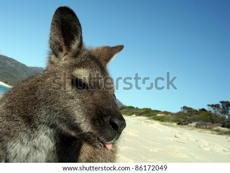 Wallaby with wacky face - stock photo