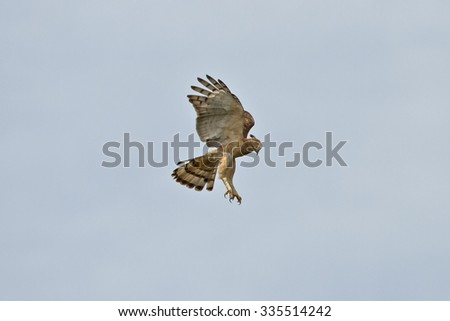 Wallace's Hawk-Eagle juvenile hovering in the nature. - stock photo