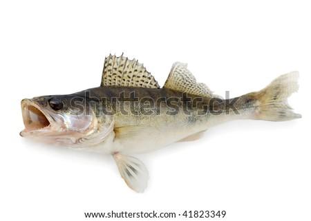 Walleye - stock photo