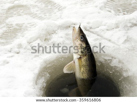 Walleye being pulled through the ice while ice fishing - stock photo