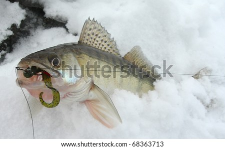 Walleye caught on drop-shot rig with green worm - stock photo