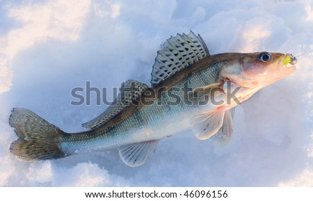 Walleye caught on jig lure is lying on snow in last rays of sunlight, released after shooting - stock photo