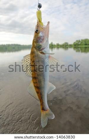 Walleye caught on traditional Russian jig lure - porolonka (foam fish) - stock photo