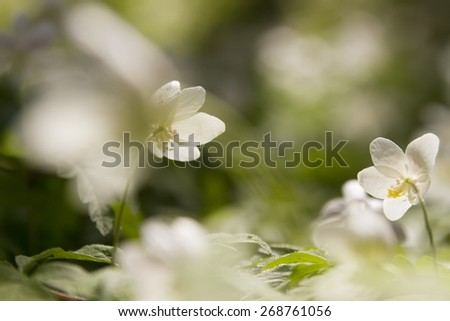 wallpaper of close up of white windflower with selective focus and shallow DOF - stock photo
