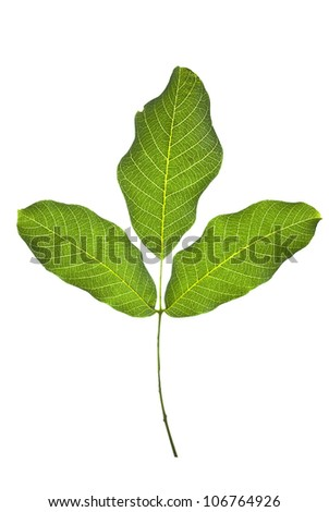 Walnut green leaves isolated on a white background. - stock photo