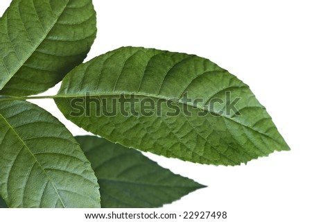Walnut leaves up close on a white background. - stock photo
