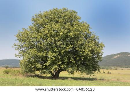 walnut tree on a green field - stock photo