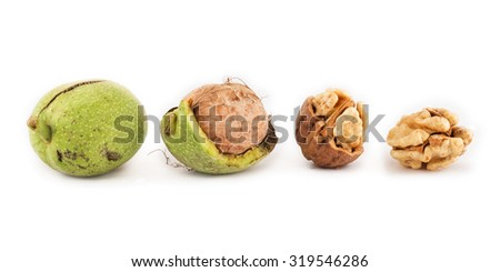 walnuts in a range from green to dehulled kernels on isolated background - stock photo