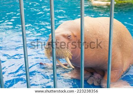 Walrus - stock photo