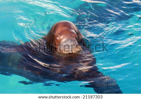 walrus aquatic animal in clear blue water