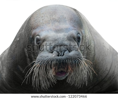 walrus close-up isolated on white background - stock photo