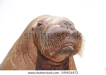 walrus isolated over white - stock photo