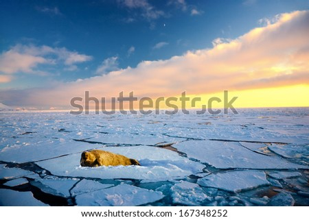 Walrus lying on the pick of ice, North pole - stock photo