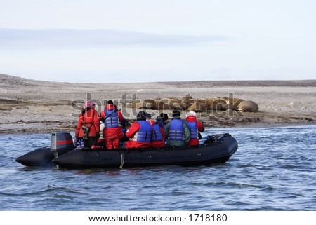 Walrus watching in the Arctic - stock photo