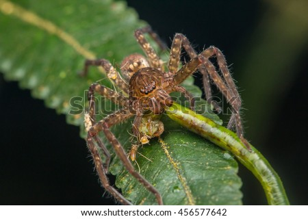 Wandering Spider with prey, centipede - stock photo