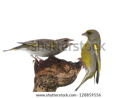 Warlike european green finch