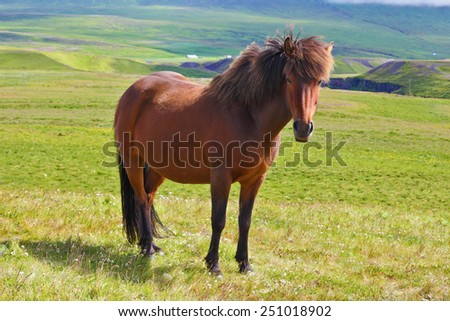 Warm summer day in Iceland. Farmer sleek bay horse with a light mane. Green lawn on the shores of the fjord - stock photo