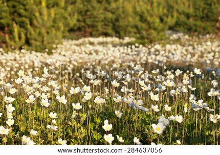 Warm summer evening outdoors. Flowering Anemones on the forest edge - stock photo