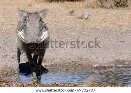 warthog - stock photo