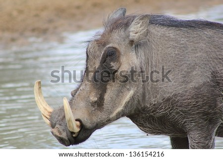Warthog - African Wildlife - An old boar looks into the distance, dreaming of yesterday and the wonders of youth.