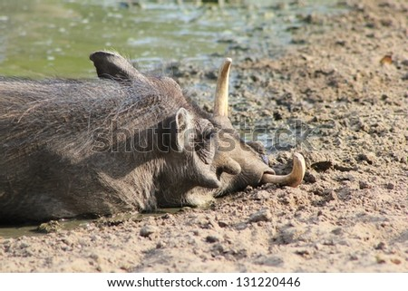 Warthog - African Wildlife - To relax and take it easy, can be exhausting. - stock photo