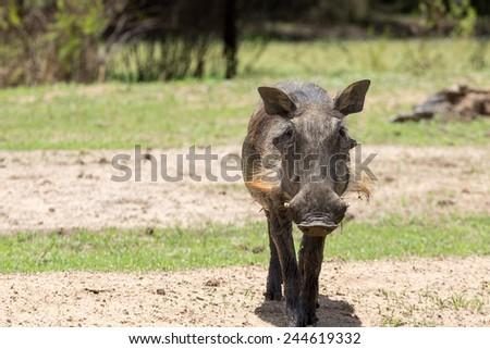 Warthog at the Gaborone Game Reserve in Gaborone, Botswana - stock photo