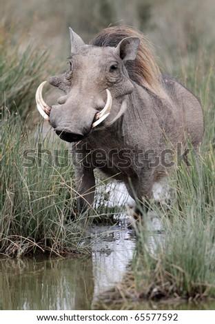 Warthog by water hole, Serengeti National Park, Tanzania, East Africa - stock photo