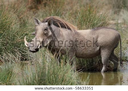 Warthog drinking in waterhole, Serengeti, Tanzania - stock photo