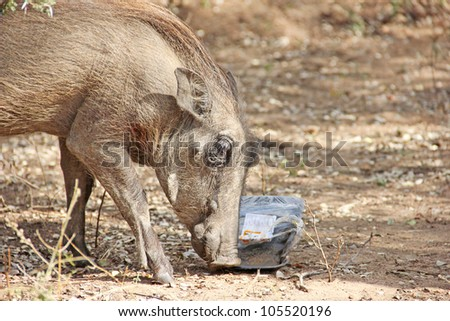 Warthog eating from litter - stock photo