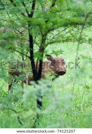 Warthog in lush green bush - stock photo
