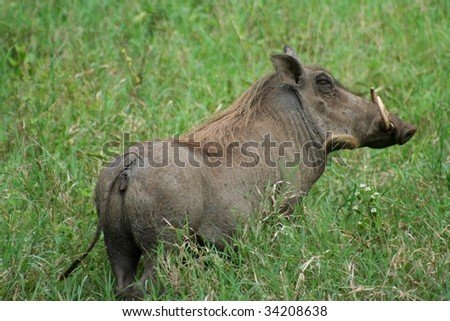 warthog in serengeti, tanzania - wild member of the pig family that lives in Africa - stock photo