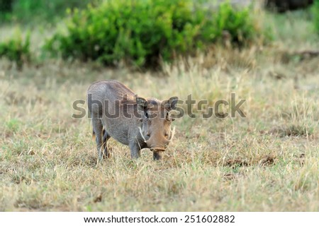 Warthog on the National Park of Kenya, Africa - stock photo