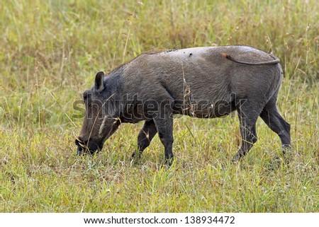 Warthog on the Serengeti, Tanzania. - stock photo