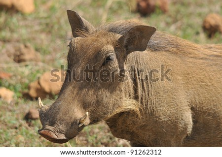 Warthog or Common Warthog (Phacochoerus africanus) is a wild member of the pig family that lives in grassland, savanna, and woodland in Sub-Saharan Africa