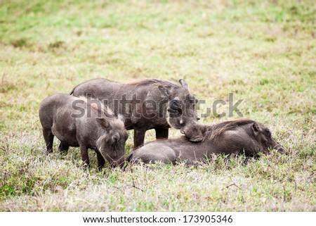 Warthog (Phacochoerus africanus) family. - stock photo