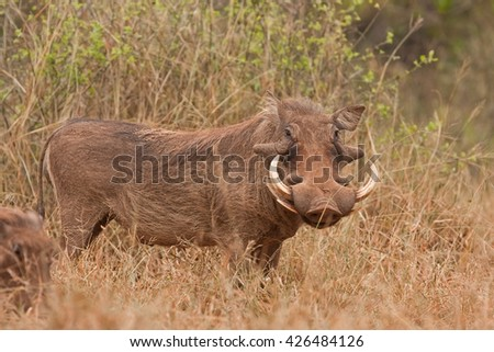 warthog, phacochoerus africanus, Kruger national park, South Africa - stock photo