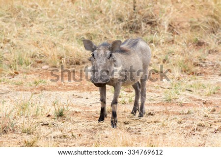 Warthog. Seen and shot on self drive safari tour through national parks in namibia, africa.