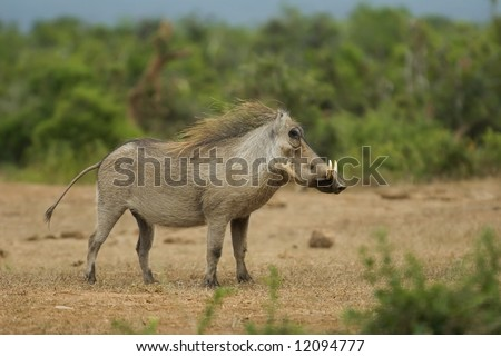 Warthog seen often in certain parts of Africa - stock photo