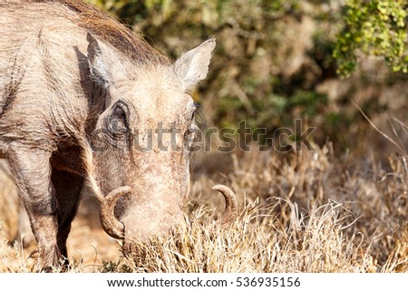 Warthog standing in the field and digging in the grass.