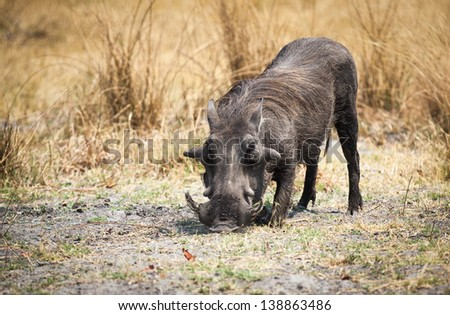 Warthog with head facing down in Botswana - stock photo
