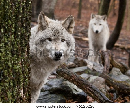 Wary Wolves - stock photo