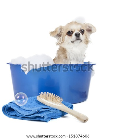Wash the dog (grooming dog) on a white background in studio