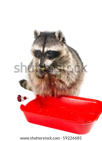 Washed - and you can eat. Raccoon  eating Washed Green Grapes - stock photo